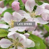 Apple Bloosom late spring British Flowers
