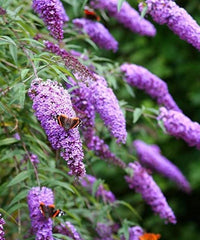 Buddleia Seasonal flowers