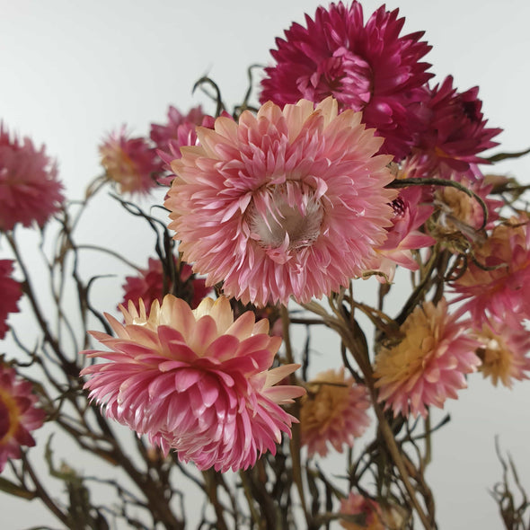 Dried Pink Helichrysum (Strawflower)