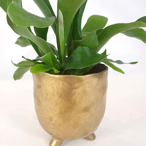 Staghorn Fern + Pot of Gold