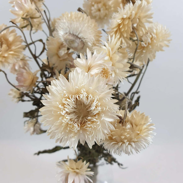 White Helichrysum (Strawflower)