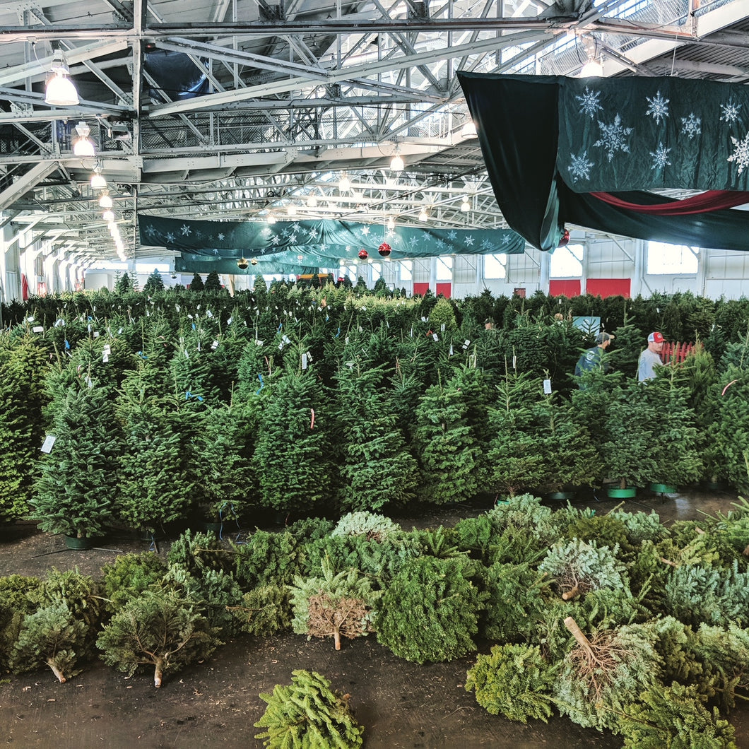 Real Christmas Trees (Fresh-Cut Noble Fir)