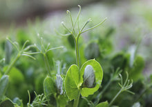 Load image into Gallery viewer, Green Pea Microgreens - Microgreens