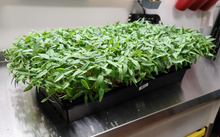 Load image into Gallery viewer, Mung Bean Microgreens - Microgreens