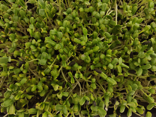 Sunflower Microgreens - Microgreens