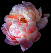 Load image into Gallery viewer, Peonie I Mask by Tina - Puedmag Inkpire