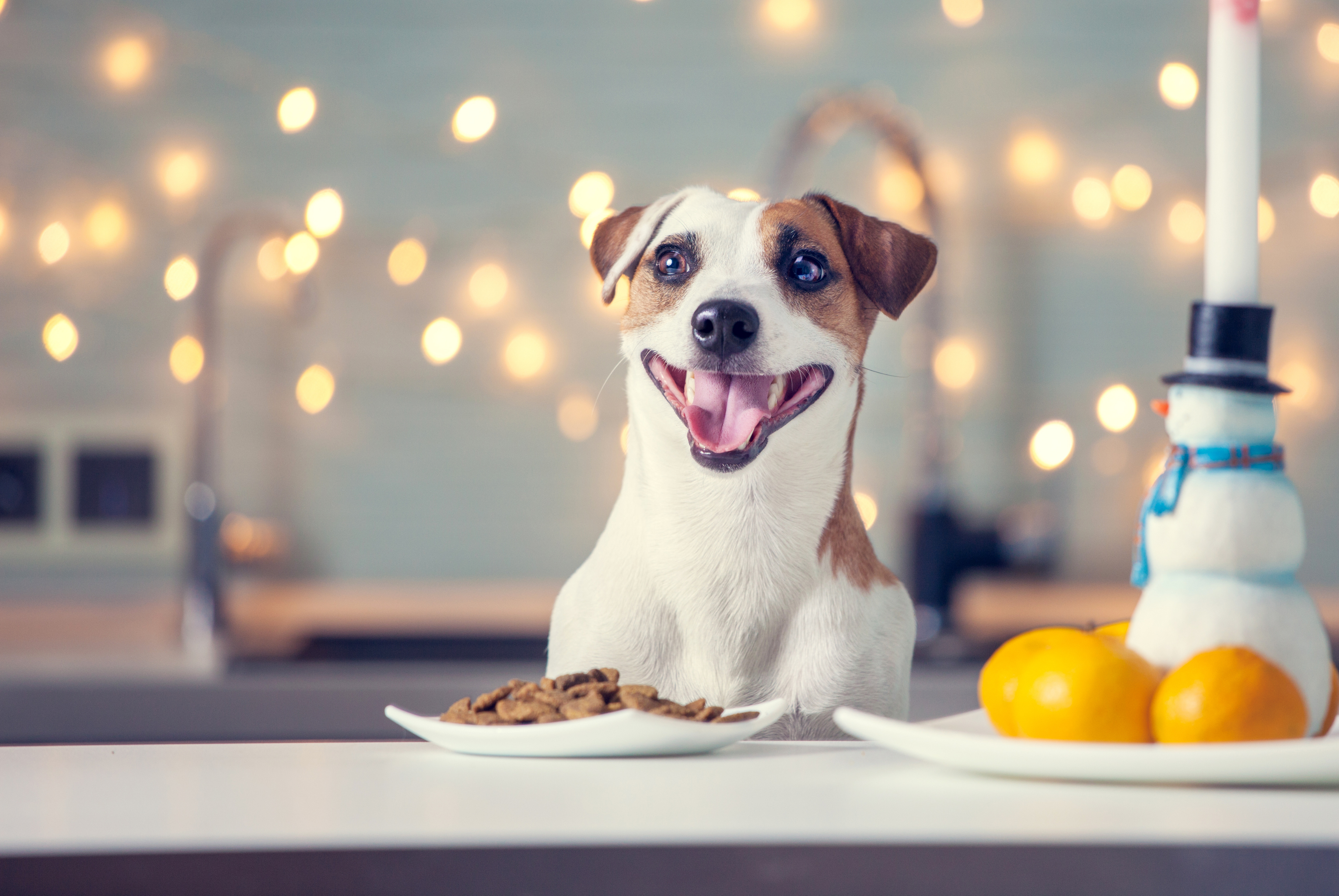 white and brown medium sized short hair dog sitting at table with food and a bowl of oranges