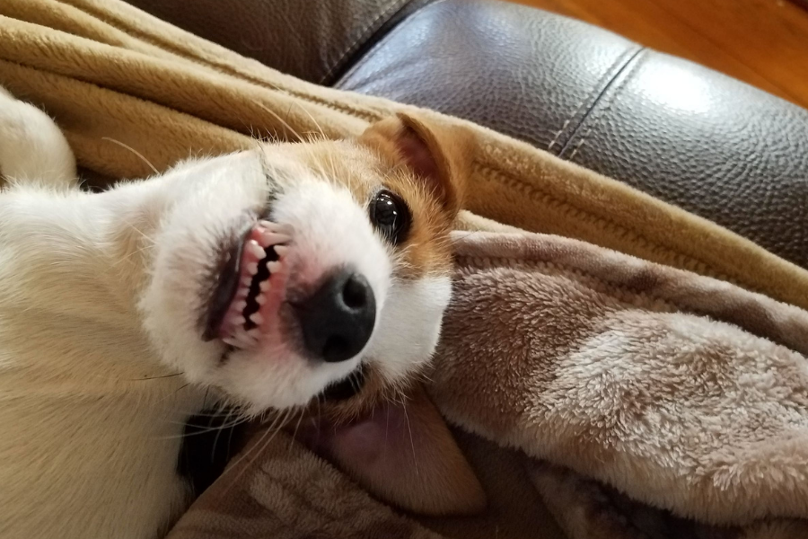 white and tan medium sized dog laying on couch smiling with teeth showing