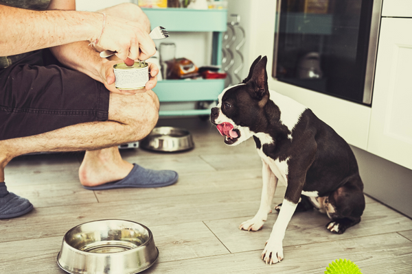 person kneeling and opening a can of dog food for a dog with tongue out