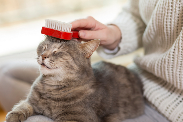 grey tabby cat getting brushed on the head with a red brush