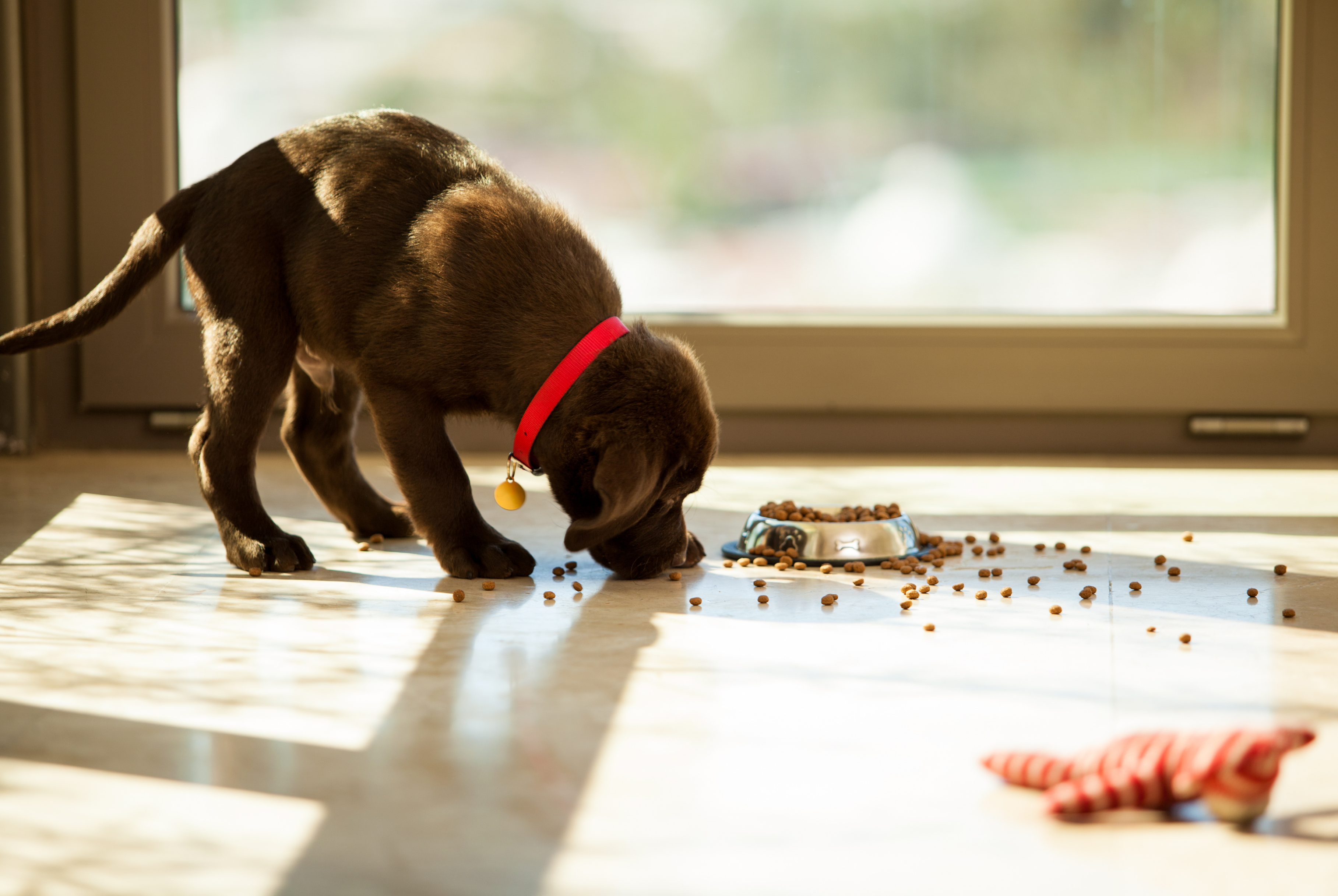brown Labrador puppy eating kibble off the floor next to a window