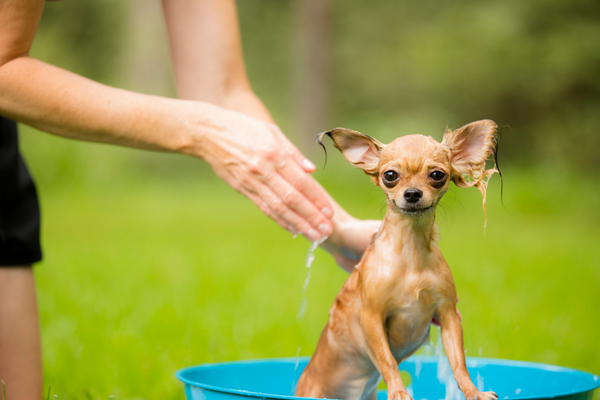 tiny chihuahua getting bathed outside in a kiddy pool