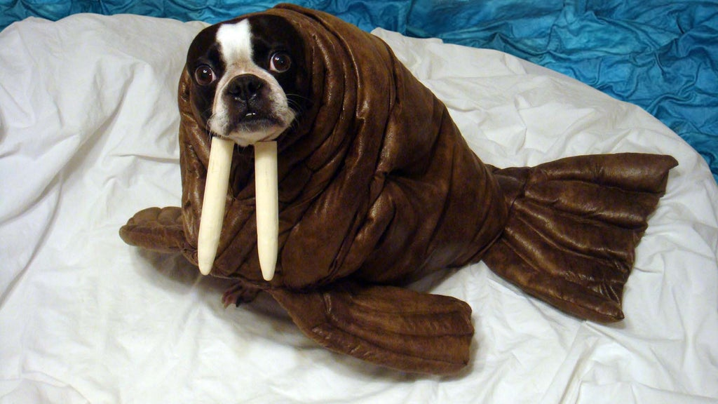 dog walrus costume to make at home courtesy of instructable.com on the Scollar personalized pet marketplace.