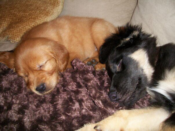 Ellie and Bear as puppies picture of sleeping pups