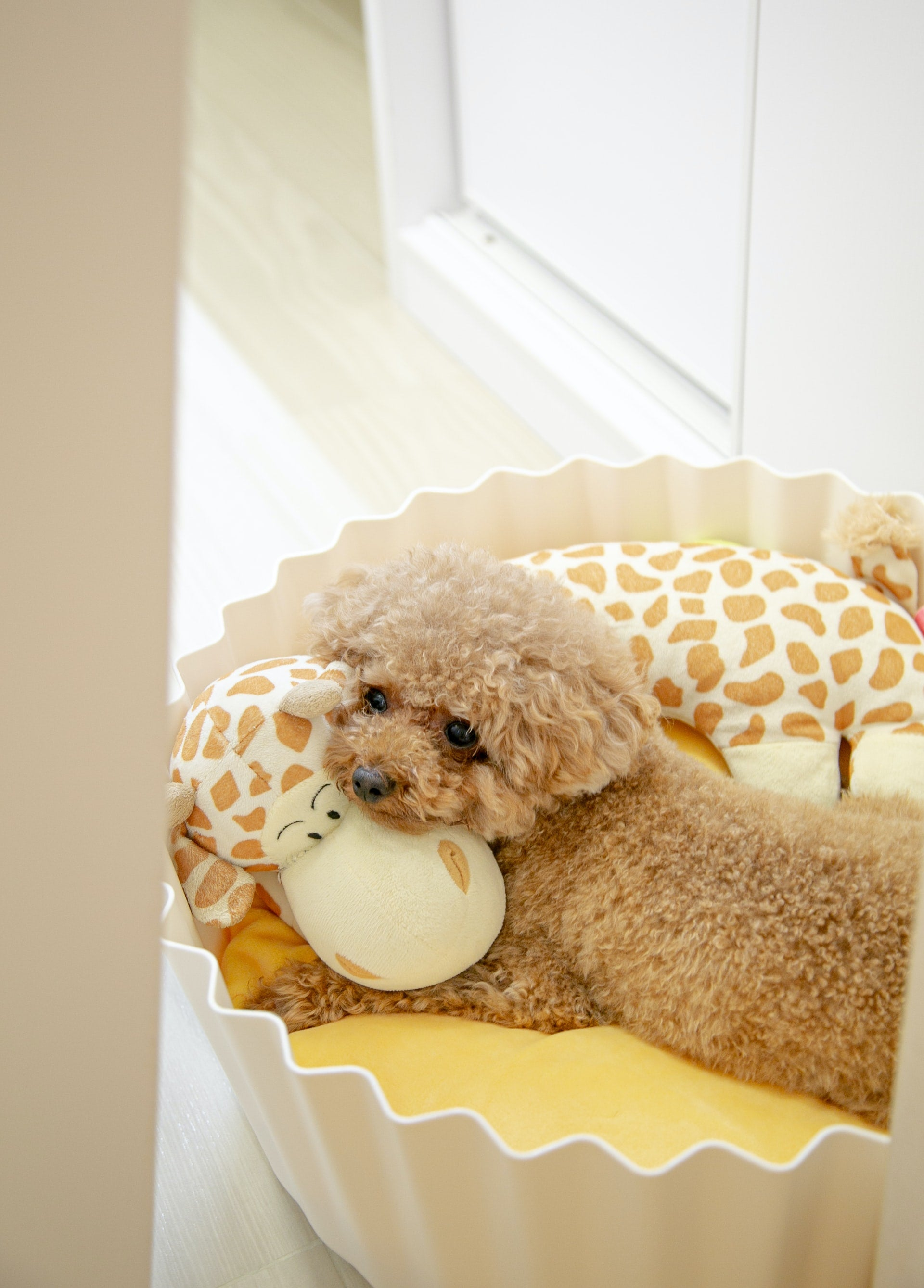Golden Doodle laying in a round dog bed with her head resting on stuffed animals.  Photo by Alison Pang.