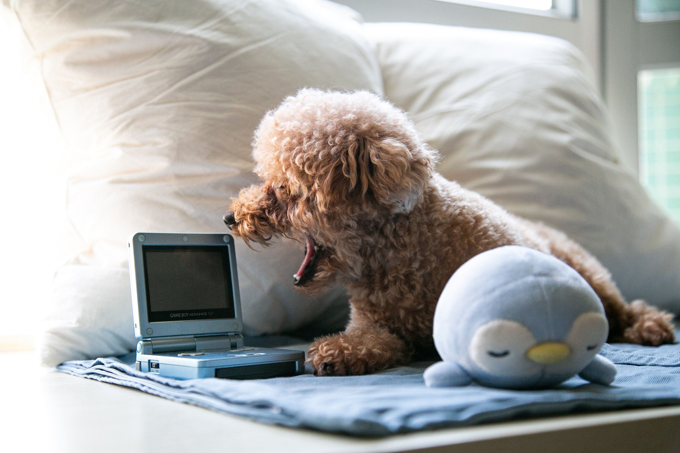 Golden Doodle sitting in bed yawning at tiny toy computer by Alison Pang at Scollar.com