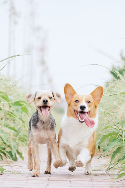 A corgi and another cute doggie running towards the camera by Alvan Nee on Unsplash