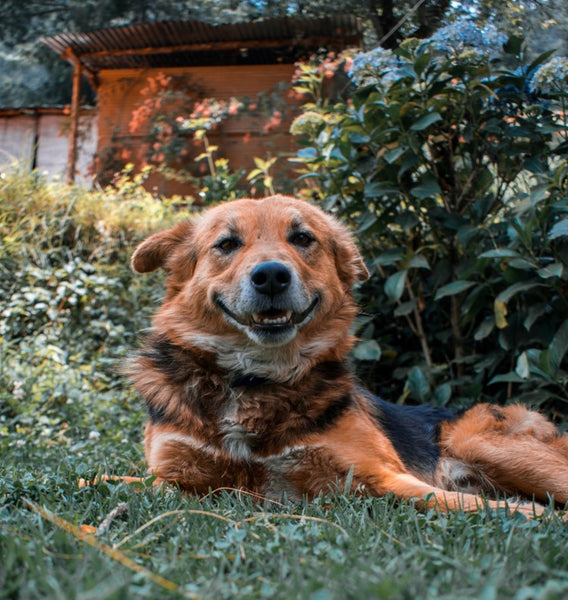 reddish dog lounging on grass smiling at camera by Aman Upadhyay on Unsplash