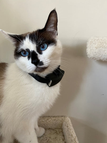 White Siamese cat with sky blue eyes wearing Scollar Mini smart collar