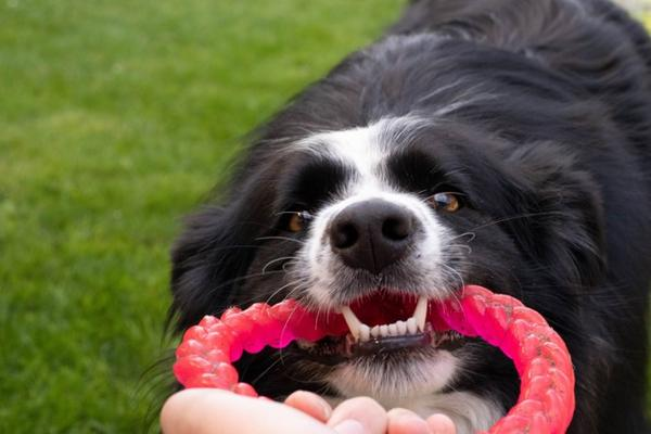 black and white dog pulling on red ring toy