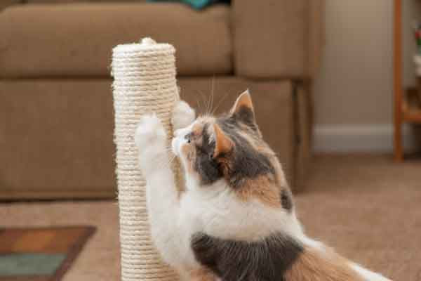 calico cat scratching on a cat post