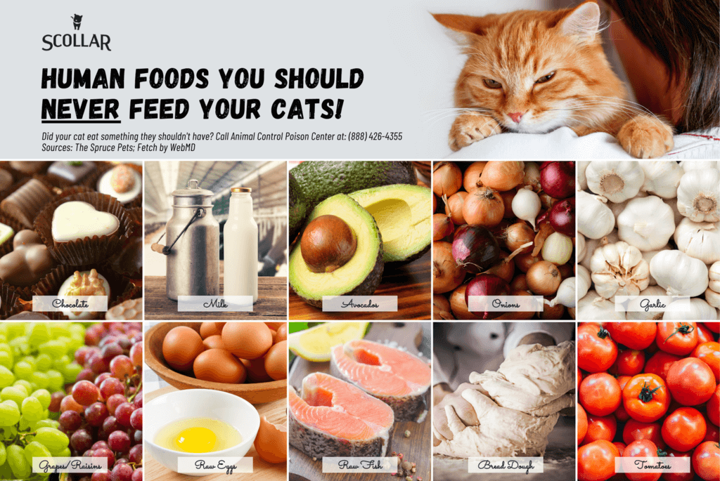 human foods never to feed a cat infographic