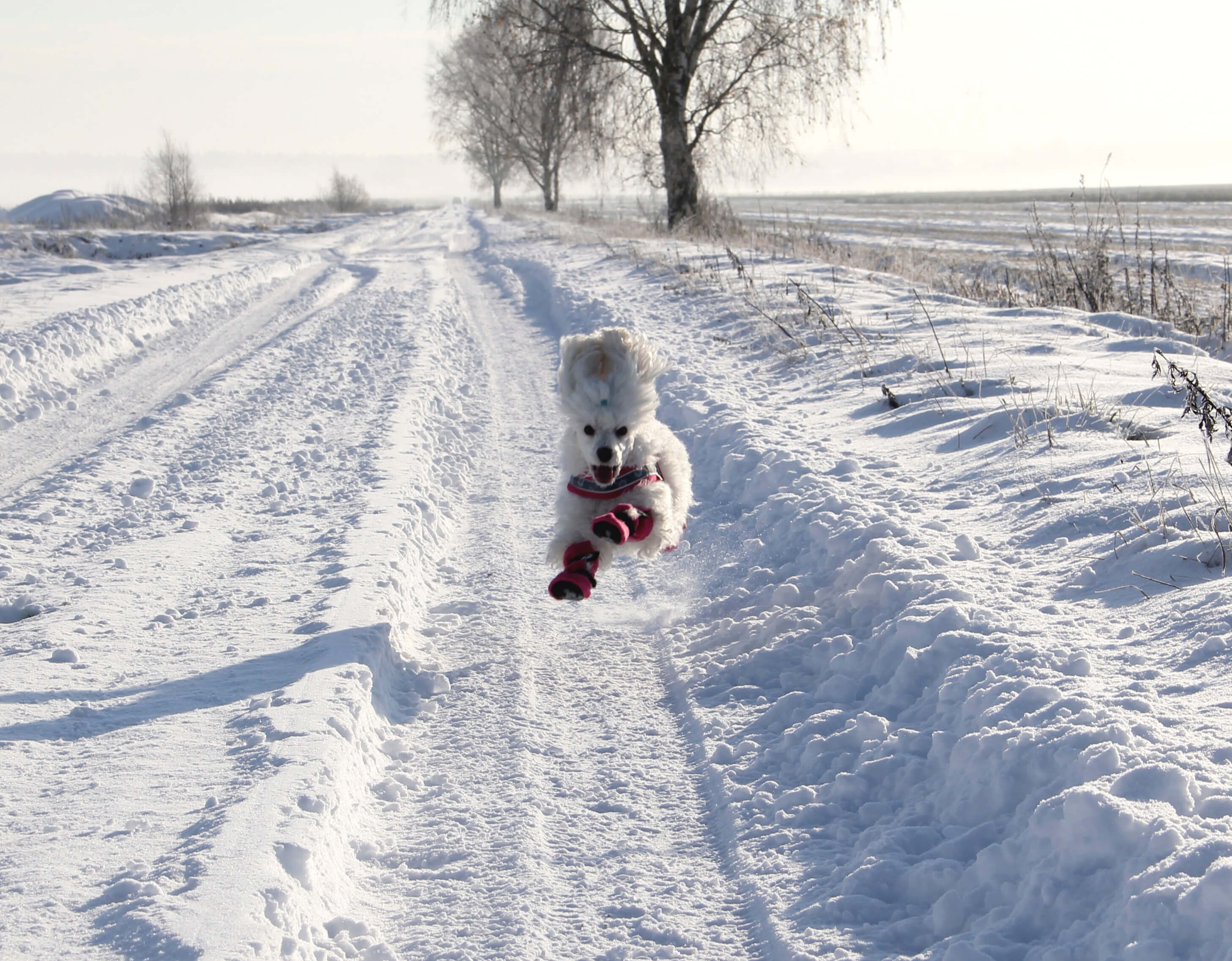 little white dog wearing hat running along snowy country road by Tuula Pekkala on unsplash at scollar.com