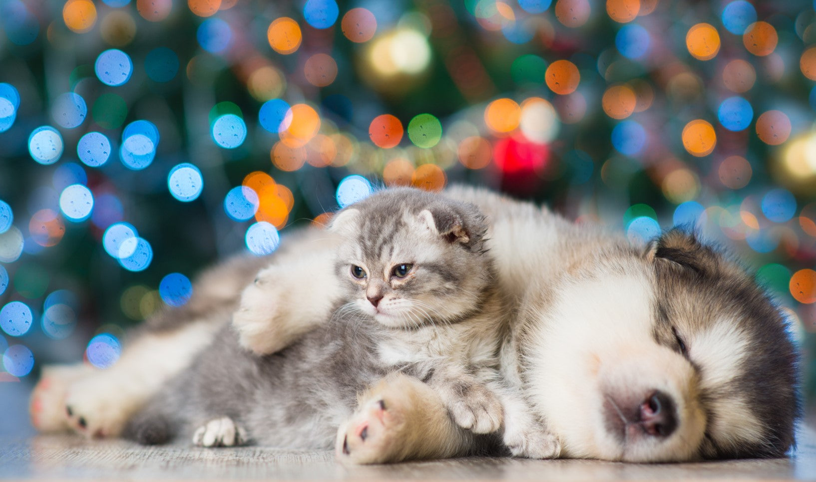sleeping husky and grey tabby kitten lounging together in front of a christmas tree