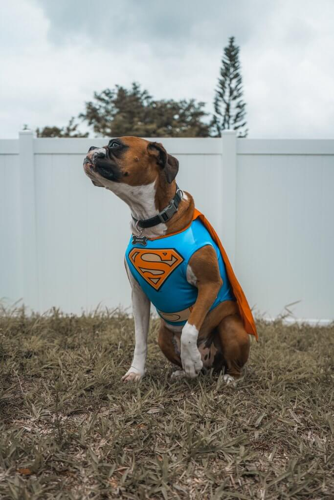 Boxer wearing a superman costume sitting in a yard next to a white fence. Photo credit Elias Castillo.  Scollar Personalized Pet Marketplace.