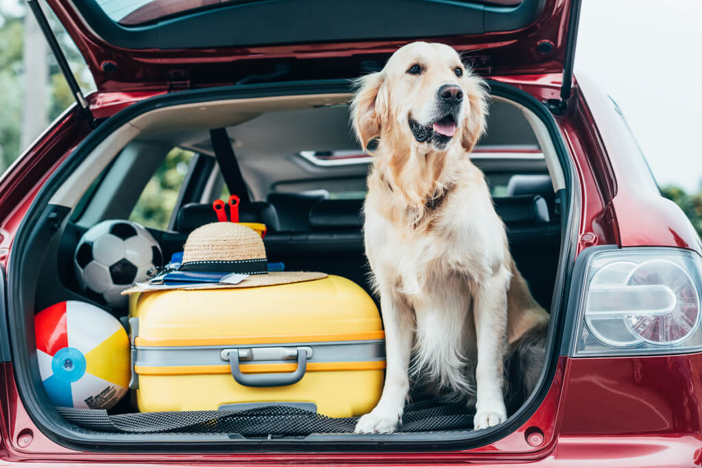 golden retriever sitting in the back of a car with the trunk open
