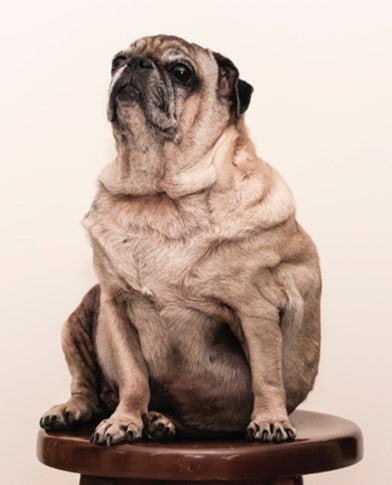 overweight pug sitting on a stool by jorge zapata at scollar.com