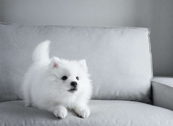 Photo from Linnea Herner, white dog on gray couch barking
