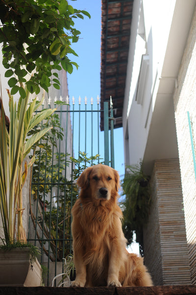 Golden Retriever sitting at the top of the stairs by Linoleum Magazine on Unsplash