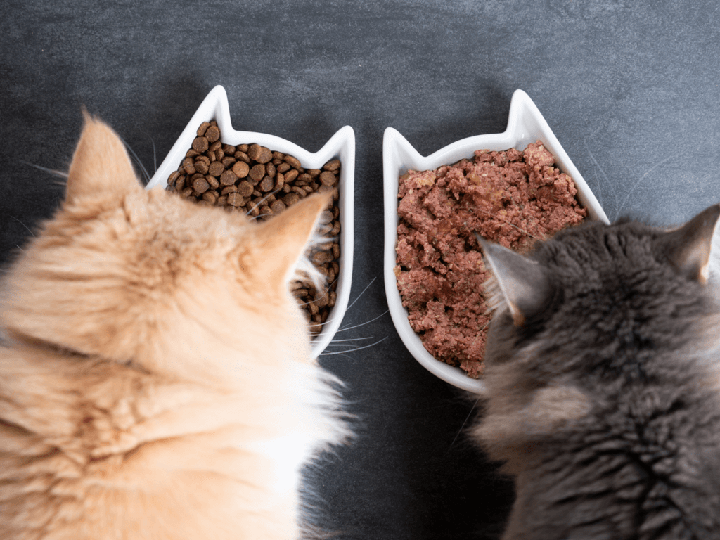 maine coon cats eating kibble from cat shaped bowls