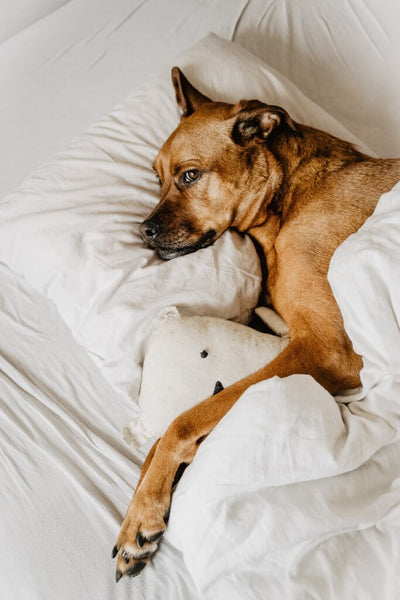 Big dog lounging in the sheets by Marina Laduda on Unsplash