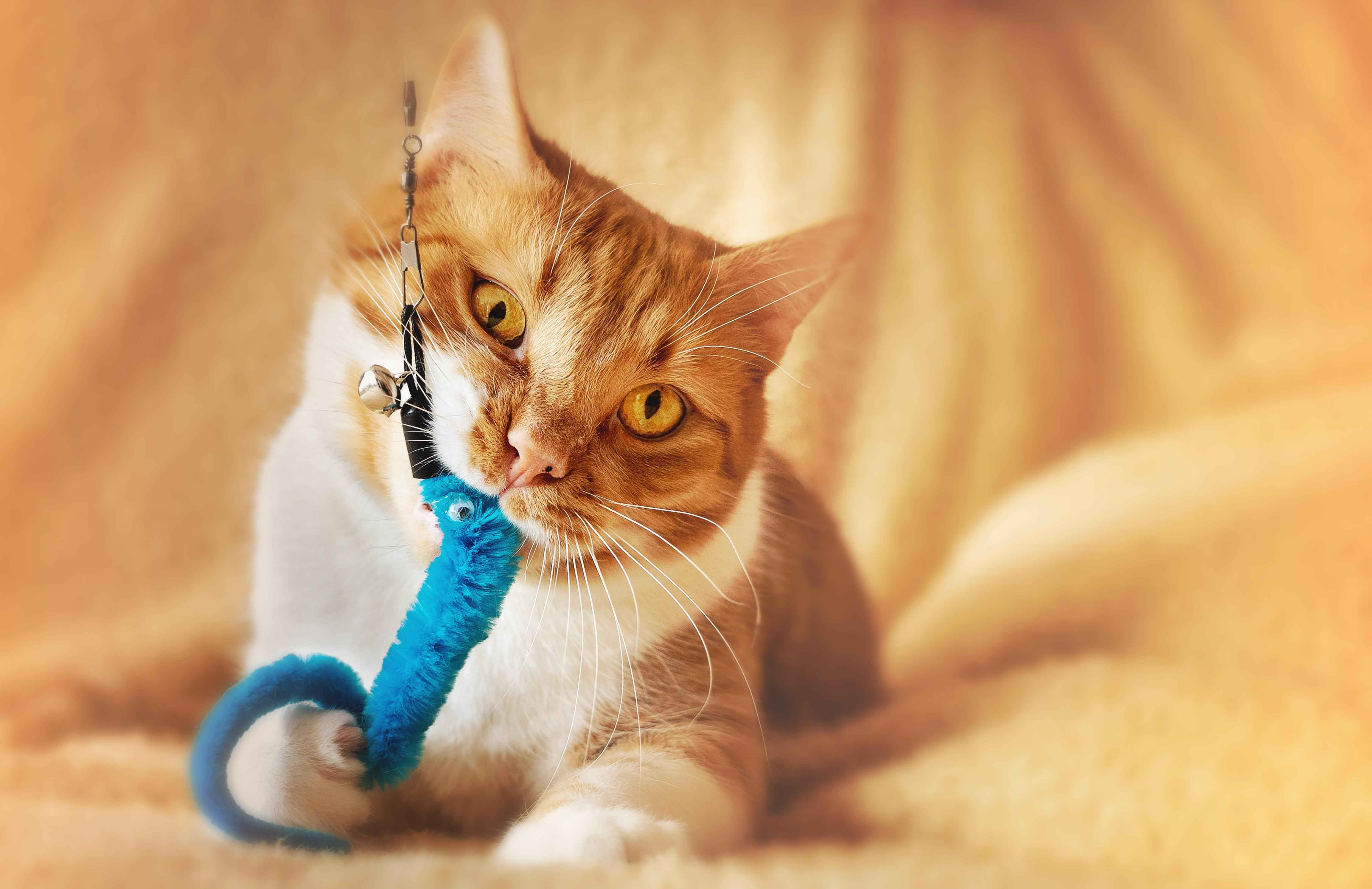 orange tabby cat chewing on blue toy