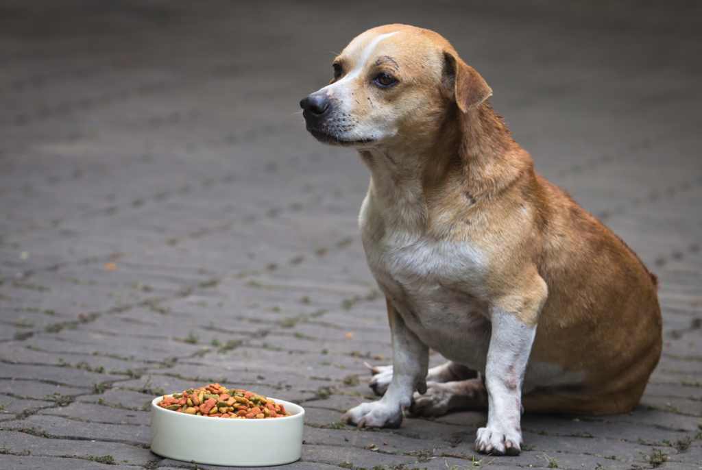 overweight tan dog sitting on the sidewalk next to a bowl of food