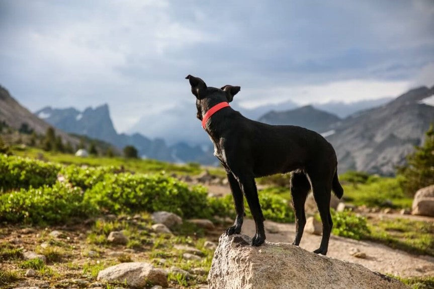 Black dog wearing red collar on a mountain trail staring away from camera by Patrick Hendry on Scollar.com
