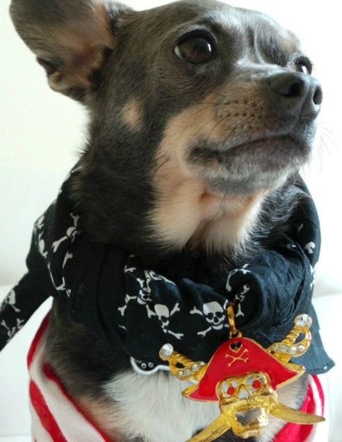 close up pic of brown chihuahua dog wearing a pirate costume. on the Scollar personalized pet marketplace.
