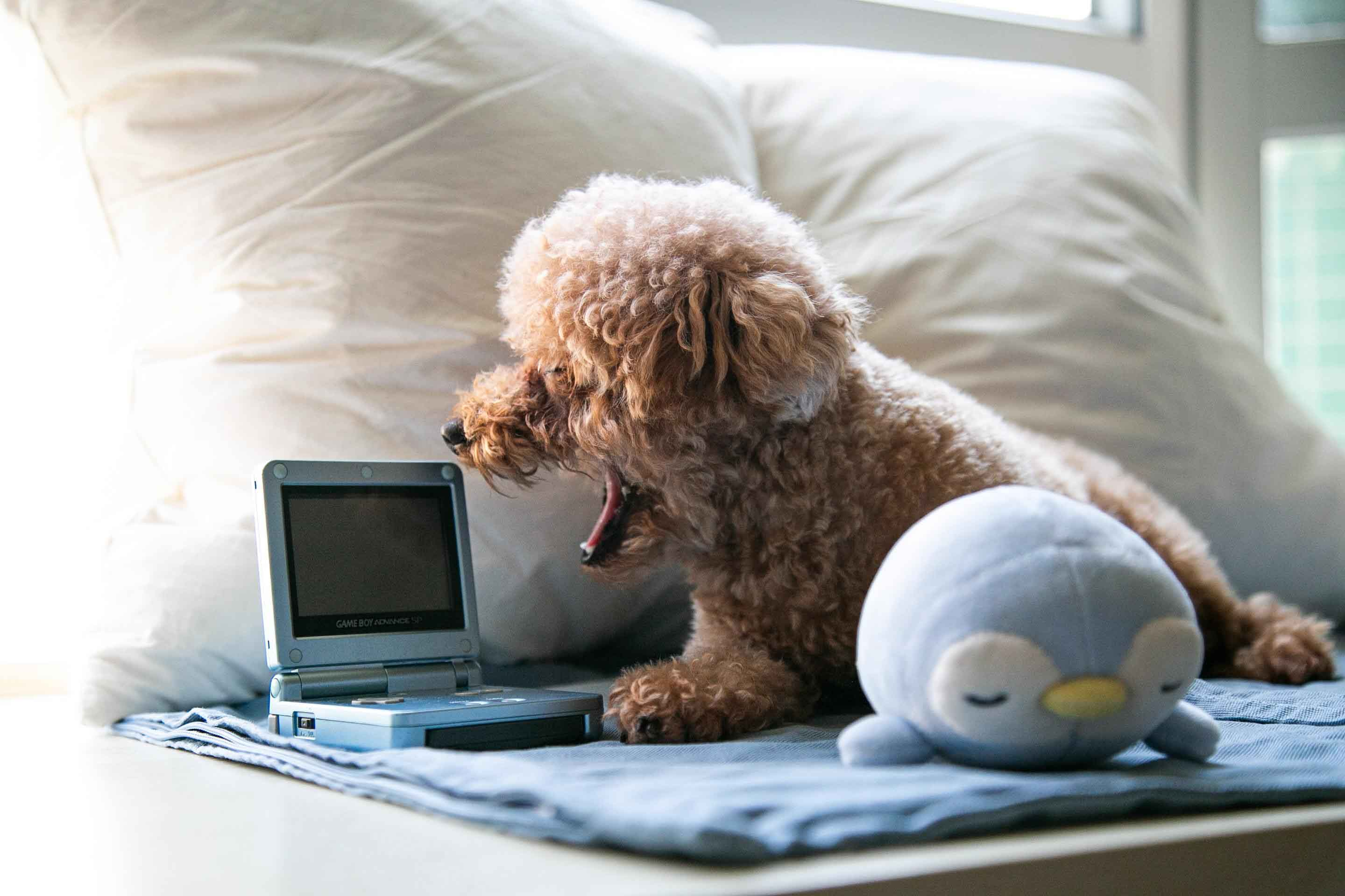 toy poodle playing with toy laptop
