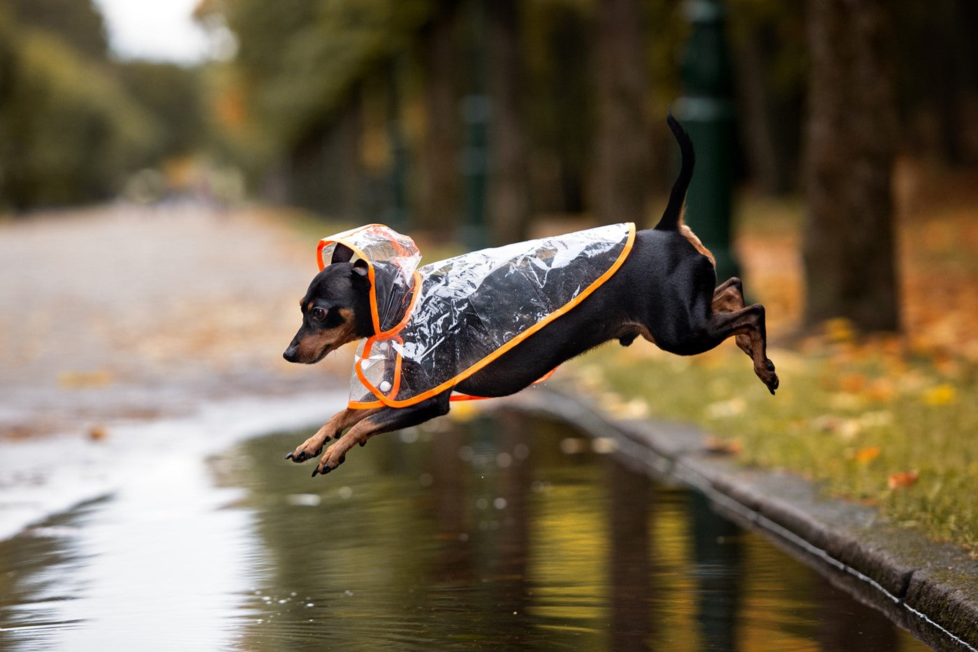 brown and black weiner dog wearing a clear raincoat jumping over a puddle