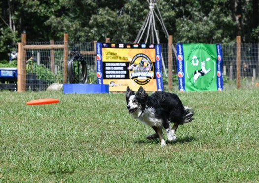 Collie chasing after a red frisbee on a grass course by Robin Jonathan Deutsch on Scollar.com