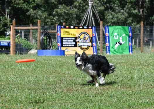 collie doing agility course on the grass