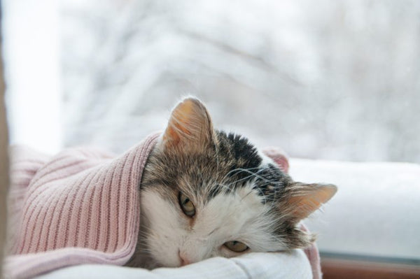 White and grey tabby cat under a pink blanket
