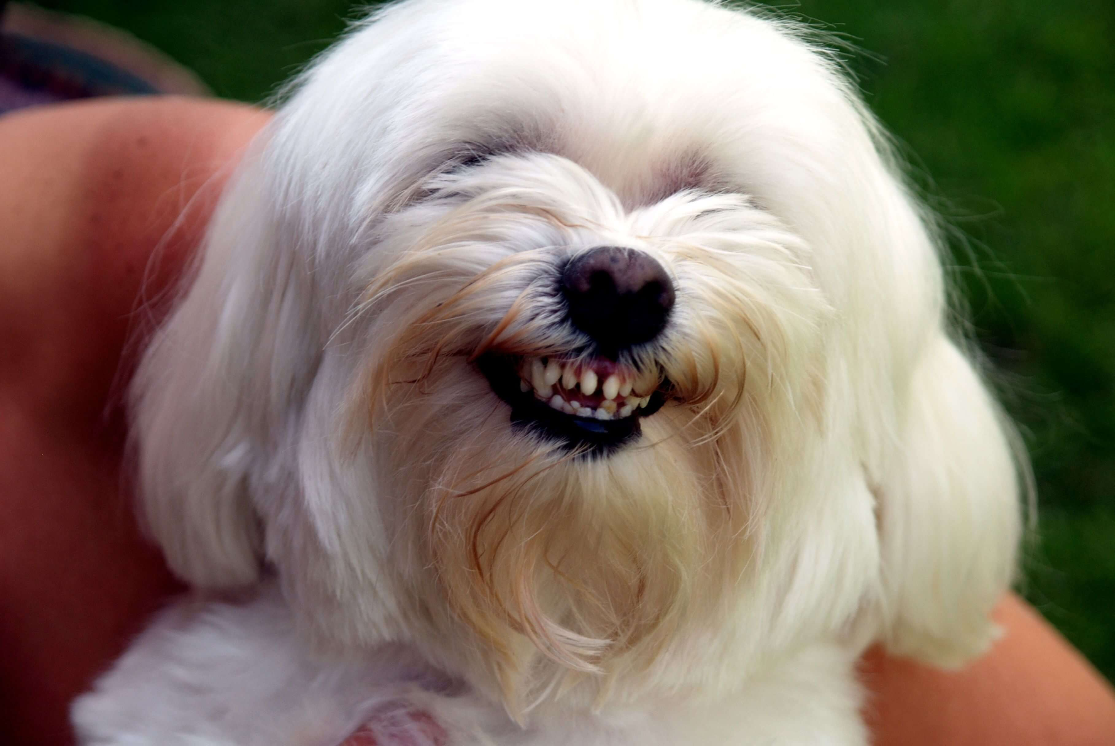 long haired white dog smiling at camera