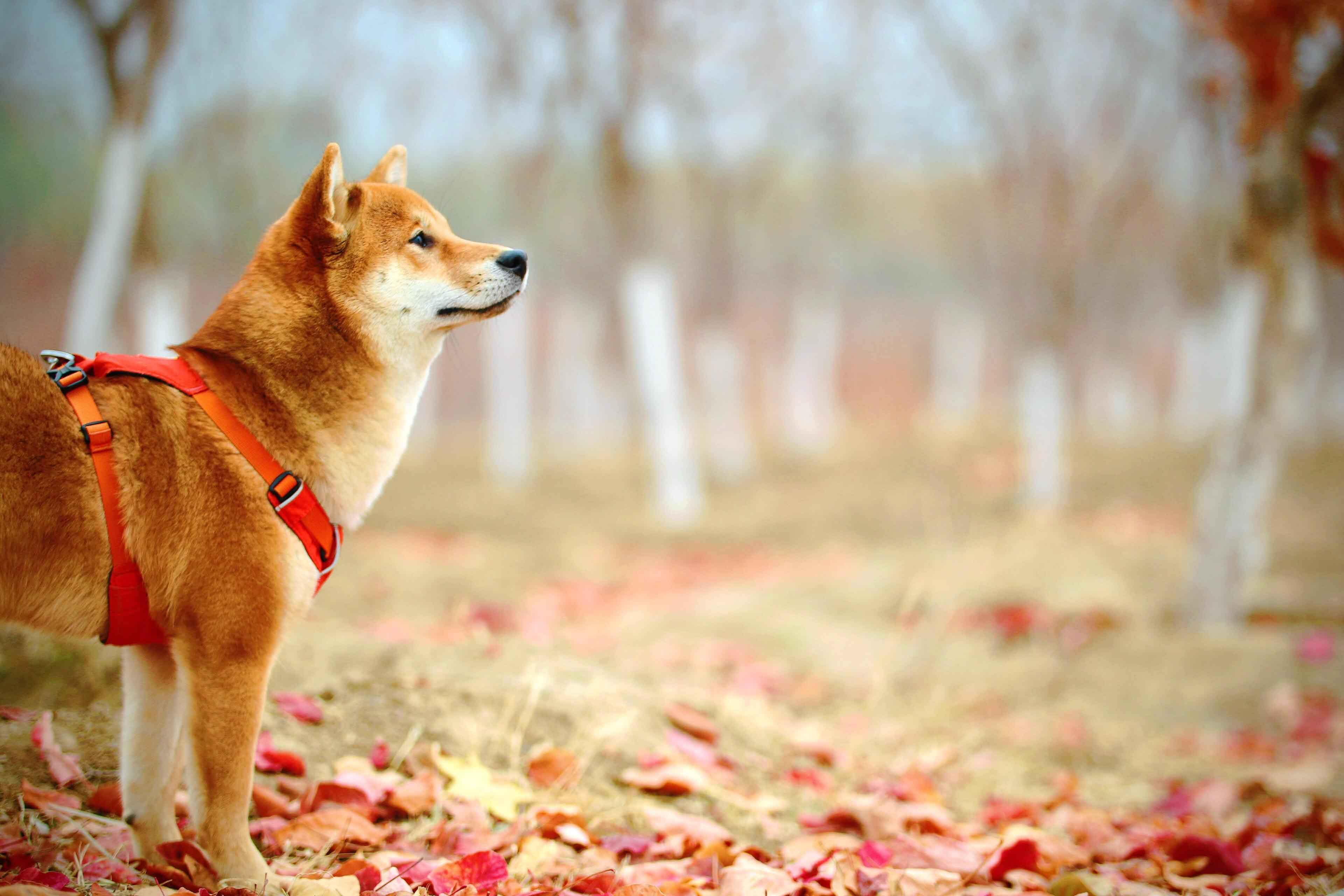 tan dog standing in forest in autumn