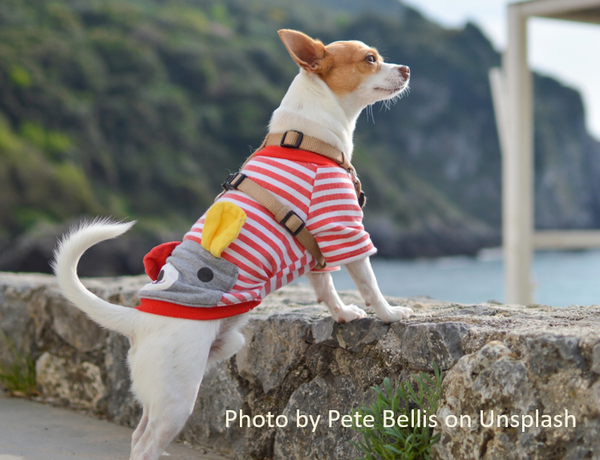 Tiny chihuahua wearing a sweater by Pete Bellis on Unsplash
