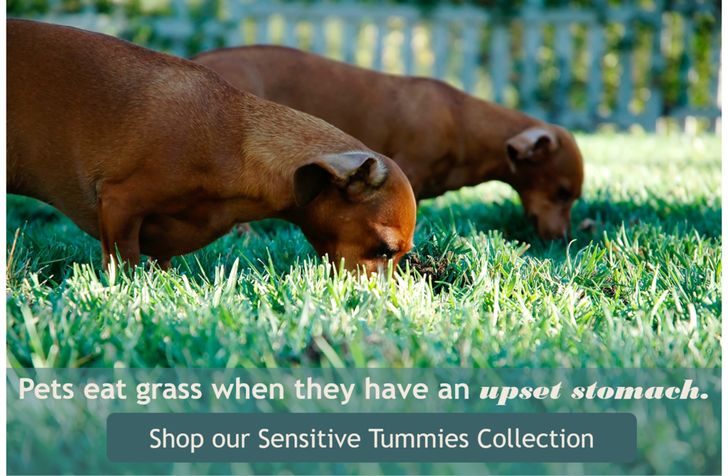two weiner dogs eating grass with heads down