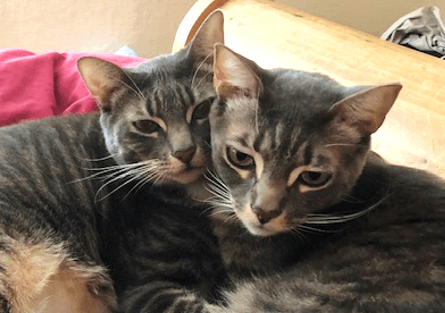 Wally and Odie grey tabby cats lounging together at Scollar Personalized Pet Care