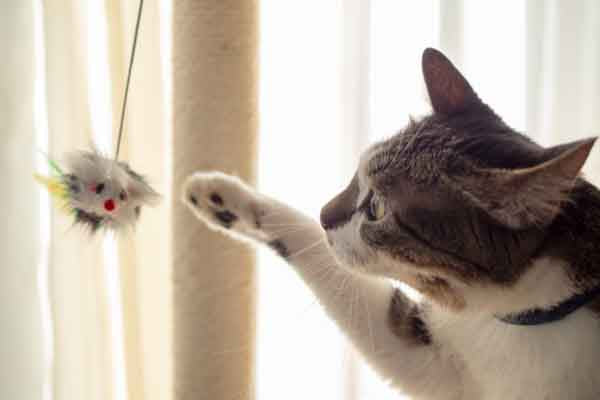 white and gray tabby playing with mouse toy
